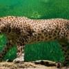 Türkiye'de 36 yıl sonra Leopar izine rastlandı